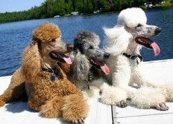 """Три пса-""""мушкетера"""""""
