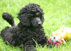 Черный пудель лежит в траве