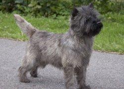 Серый пес породы керн-терьер