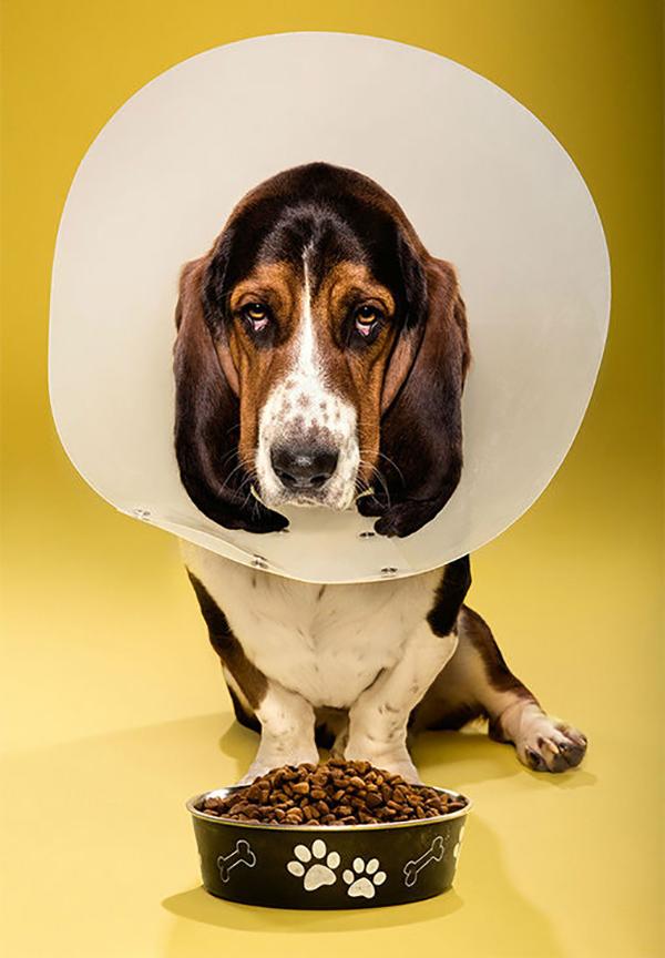 Собака в медицинском ошейнике