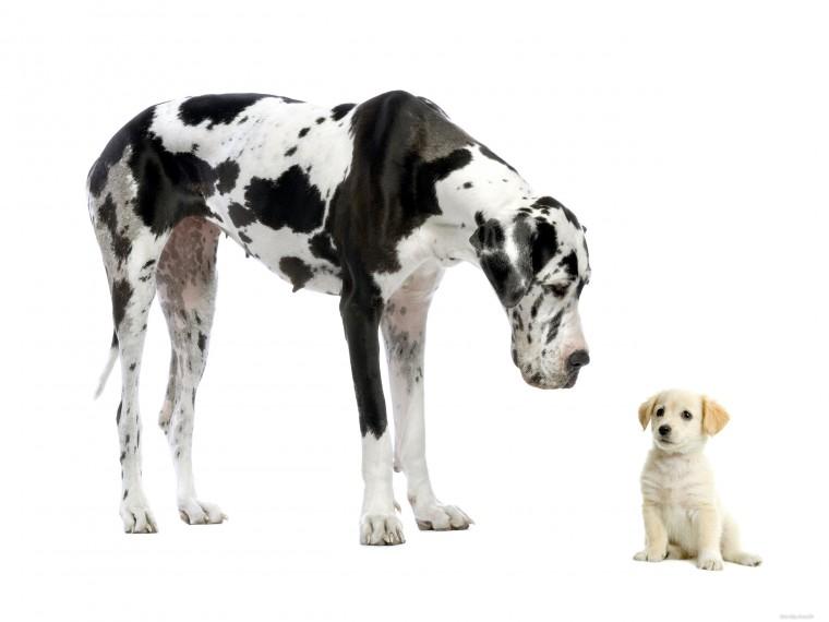 Щенок знакомится с большой собакой