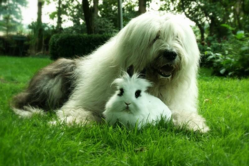 Бобтейл лежит рядом с кроликом