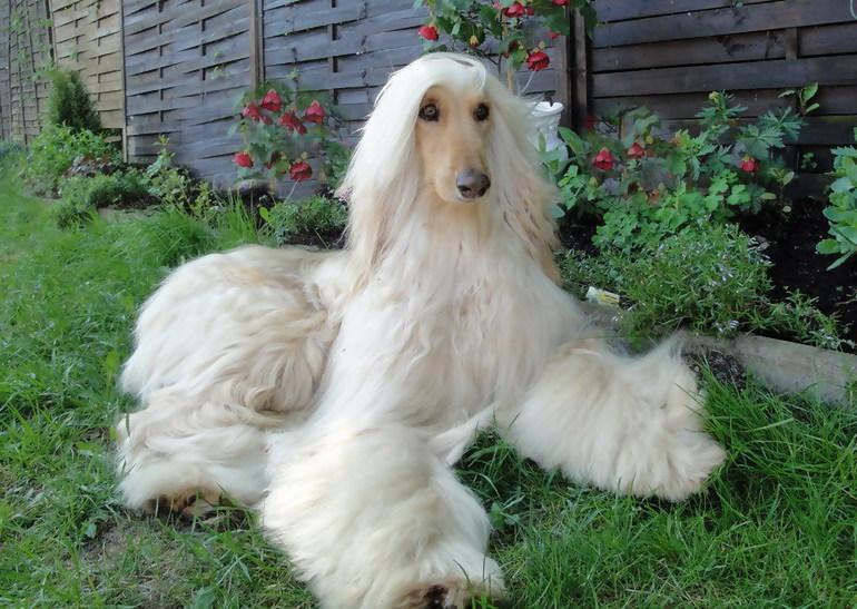 Собака с ухоженной шерстью