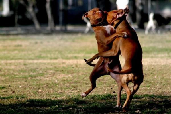 Бой с участием двух собак