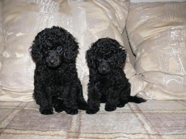 Два черных щенка карликового пуделя