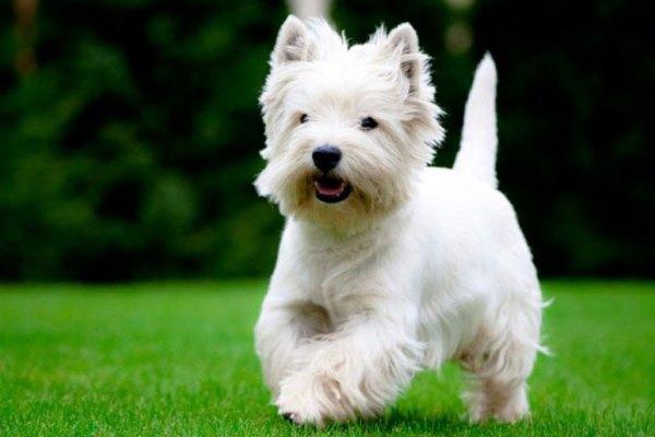 Собака бежит по лужайке