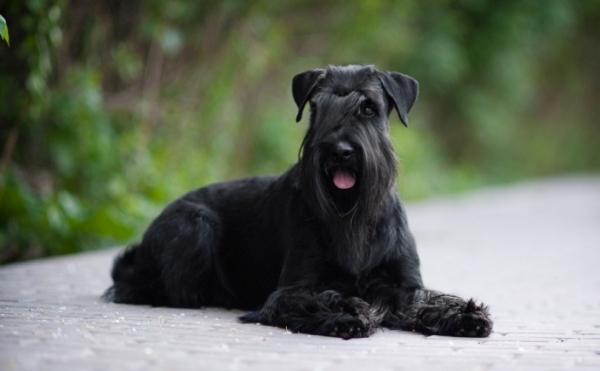 Черная собака породы миттельшнауцер