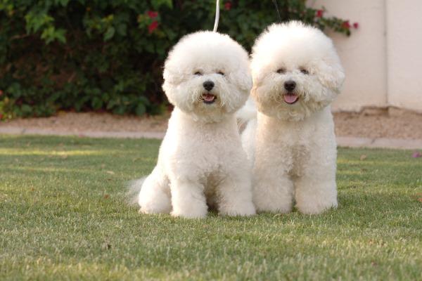 Две французских собаки