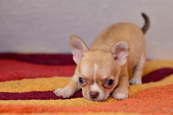 Двухмесячный малыш чихуахуа