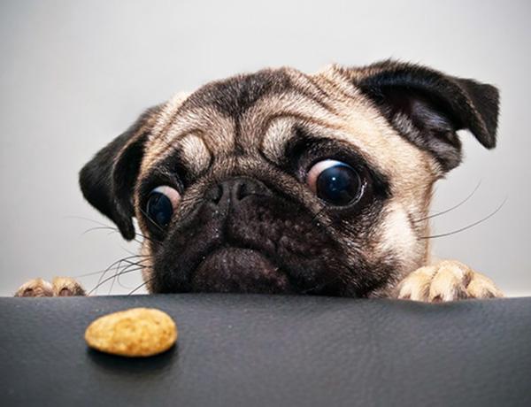 Собака смотрит на лакомство