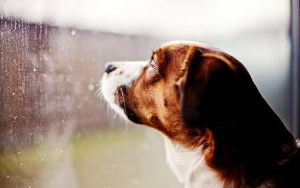 Грустная собака смотрит в окно