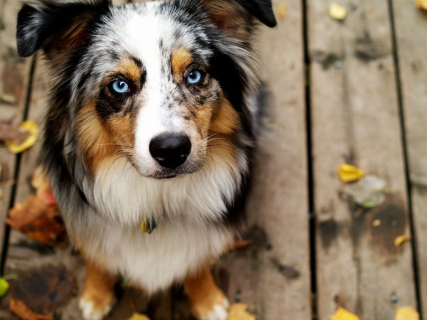 Собака породы австралийская овчарка