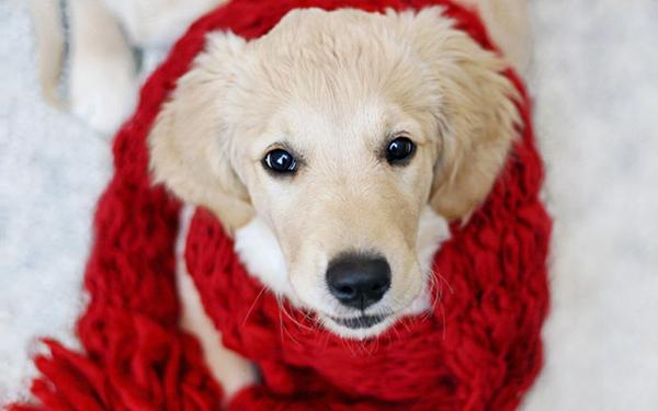 Собака и красный шарф