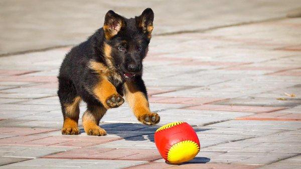 Щенок играет с мячиком
