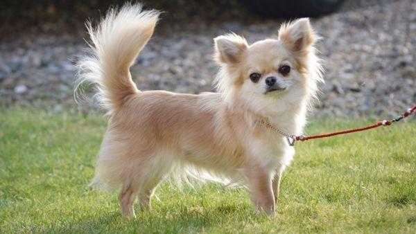 Длинношерстная собака породы чихуахуа