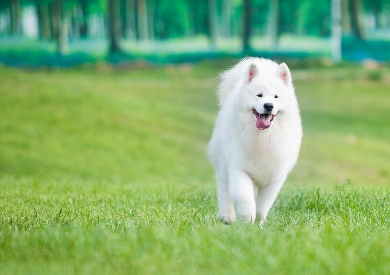 Бегущая самоедская собака