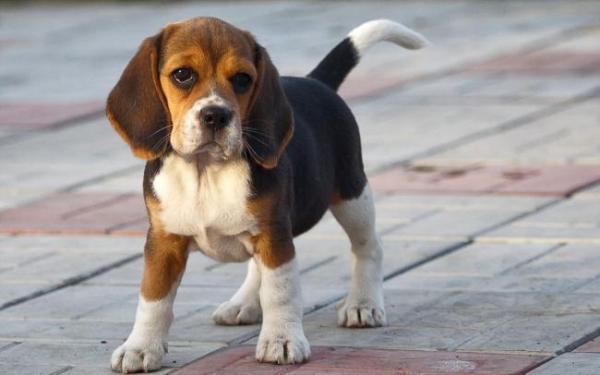 Подросший щенок породы Бигль