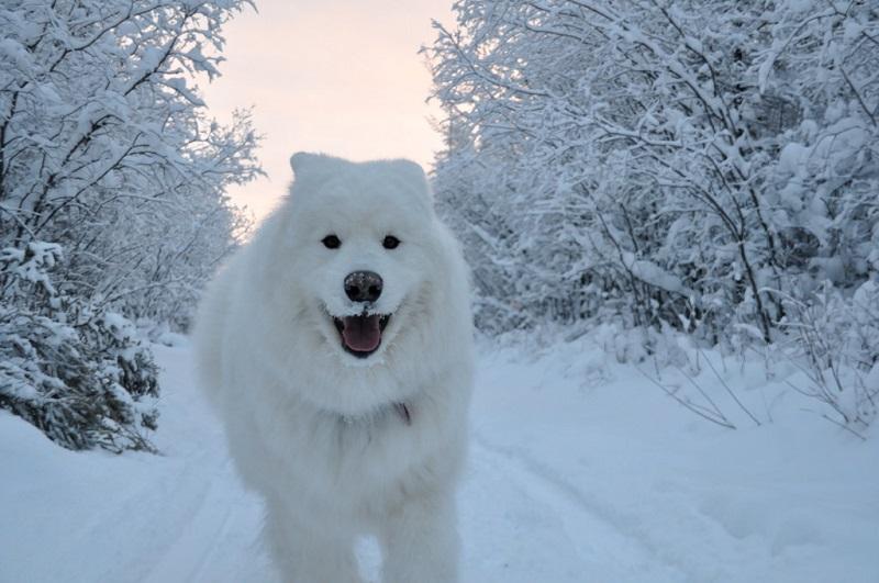 Самоед, бегущий по снегу