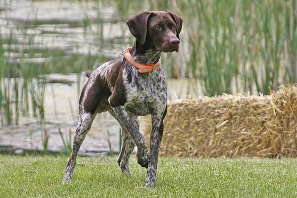 Собака возле реки на охоте