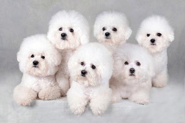Белоснежные щенки бишон фризе