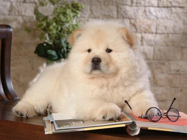 Чау-Чау лежит на книге рядом с очками