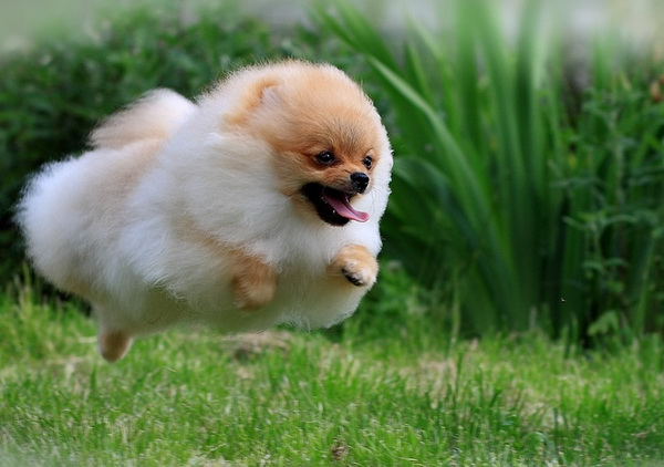 Песик быстро бежит