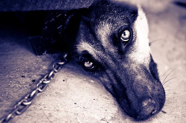 Цепной пес грустит