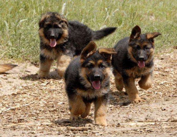 Дрессировка трех щенков