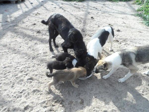 Взрослые собаки и щенки кушают из миски