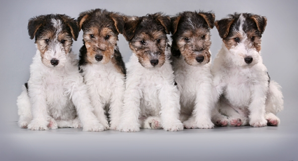 Пять щенков фокстерьера