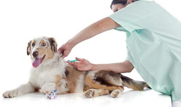 Ветеринар ставит укол собаке