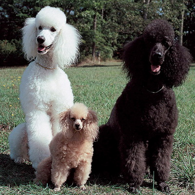 Пуделиное семейство