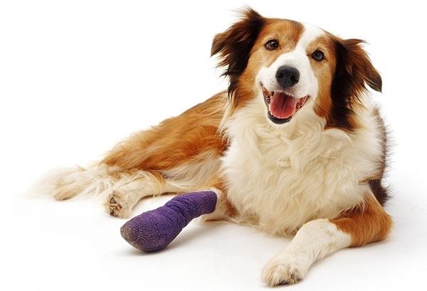 Собака с травмой лапы