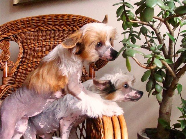 Две Китайских Хохлатых собаки обнюхивают растение