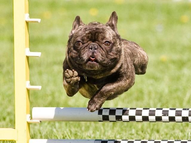 Французский Бульдог в прыжке