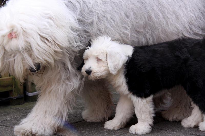 Мама-бобтейл со своим щенком
