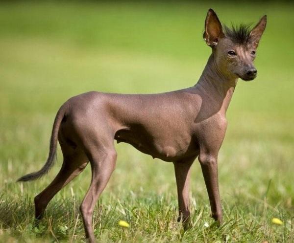 Собака породы ксолоитцкуинтли