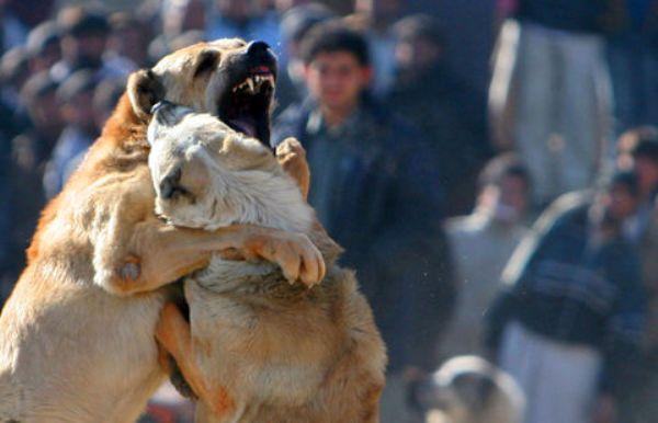 Бой между двумя собаками