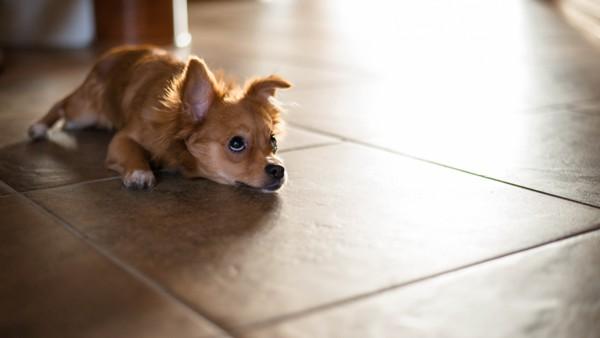Мелкий пес на полу