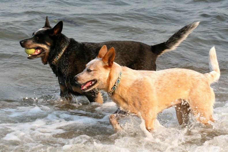 Австралийские пастушьи собаки возле моря