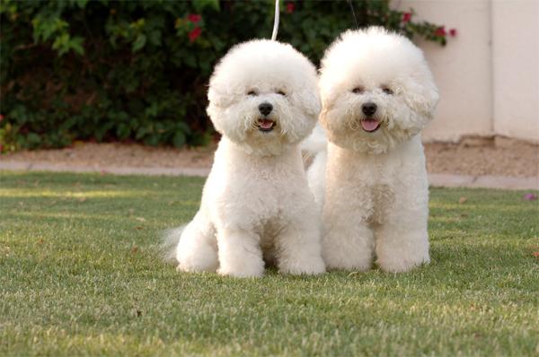 Два щенка бишон фризе