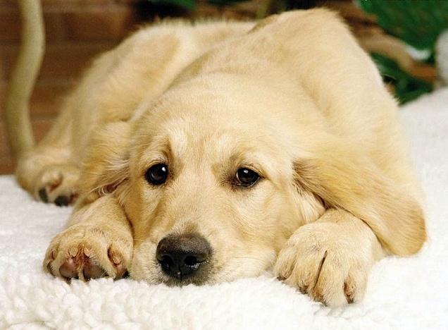 Больная собака лежит