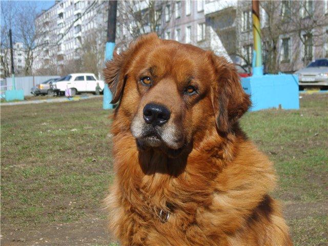 Бурят-монгольский волкодав (БМВ) хотошо позирует