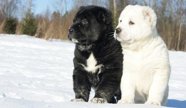 Черный и белый щенок