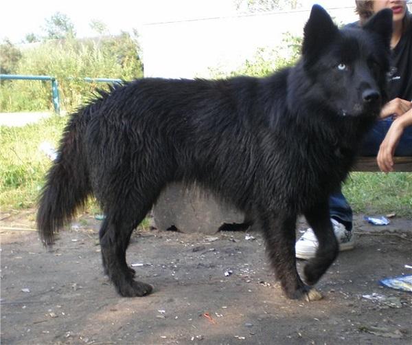 Черный пес породы хаски