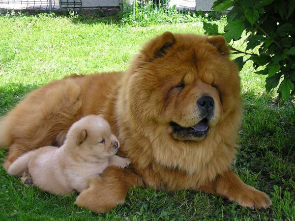 Чау-Чау и щенок лежат в тени