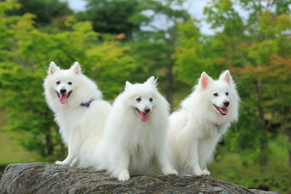 Три белых собаки