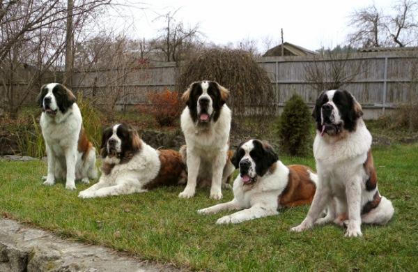 Четыре московских сторожевых собаки
