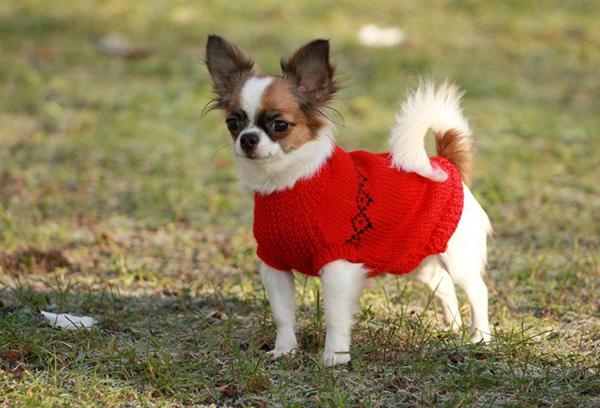 Чихуахуа в красном свитере