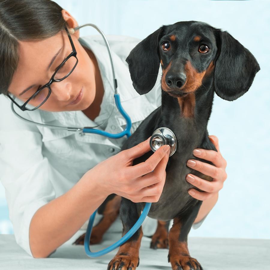 Женщина-ветеринар слушает собаку